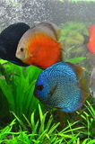 Discus pair - tropical aquarium fish Stock Photography