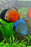 Discus pair - tropical aquarium fish Stock Photo
