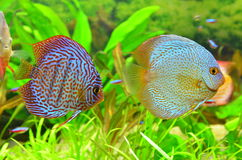 Discus pair - tropical aquarium fish Stock Photos