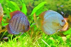 Discus pair - tropical aquarium fish stock photos