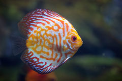 Discus Red Spotted Golden Stock Images