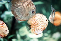 Discus are some of the most beautiful tropical fish in aquarium. Colorful of Discus, Symphysodon aequifasciatus. Discus are some of the most beautiful tropical Royalty Free Stock Photography