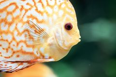 Discus are some of the most beautiful tropical fish in aquarium. Colorful of Discus, Symphysodon aequifasciatus. Discus are some of the most beautiful tropical royalty free stock images