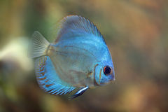 Discus Super Blue Angel. Rriver fish (species Super Blue Angel), underwater photography royalty free stock photography