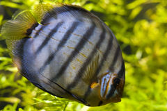 Discus (Symphysodon Aeqifasciata) Royalty Free Stock Photo