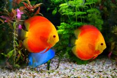 Discus Symphysodon, multi-colored cichlids in the aquarium, the freshwater fish native to the Amazon River basin Royalty Free Stock Photo