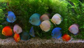 Discus Symphysodon, multi-colored cichlids in the aquarium, the freshwater fish native to the Amazon River basin Stock Image