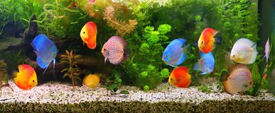 Discus Symphysodon, multi-colored cichlids in the aquarium, the freshwater fish native to the Amazon River basin. Discus Symphysodon , multi-colored cichlids in stock photo