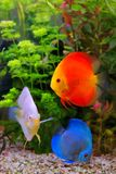 Discus Symphysodon, multi-colored cichlids in the aquarium, the freshwater fish native to the Amazon River basin Stock Photos