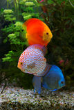 Discus Symphysodon, multi colored cichlids in the aquarium, the freshwater fish native to the Amazon River basin Royalty Free Stock Photography