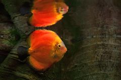 Discus Symphysodon, red cichlid and its reflection in the surface water, the freshwater fish native to the Amazon River basin Stock Photo