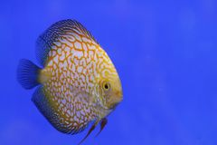 Discus tropical fish Royalty Free Stock Images