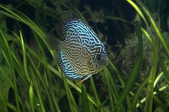 Discus - Tropical Fish Royalty Free Stock Photo