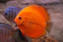 Discus tropicale dei pesci (Symphysodon) fotografia stock