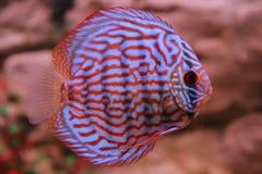 Discus tropicale dei pesci (Symphysodon) immagine stock
