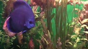 Discus underwater shot. Discus fish in aquarium. video stock footage