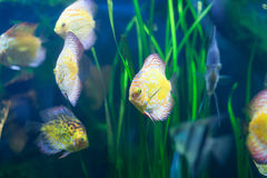 Discus  at water Royalty Free Stock Images