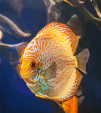 Discus (Symphysodon discus) Royalty Free Stock Photography