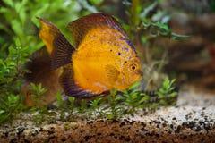 Discuses di Colorfull in acquario fotografia stock libera da diritti