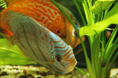 Discuses in tank. Discus fish in tank Royalty Free Stock Photography