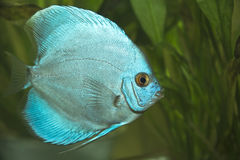 Discusfische - Symphysodon aequifasciatus Stockbilder