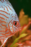 Discusfish turquoise stock images