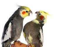 Discusión de Cockatiels Foto de archivo libre de regalías