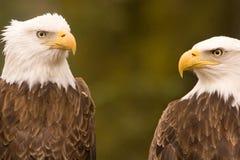 Discusión del águila calva Fotografía de archivo libre de regalías