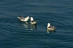 Discussão animada entre gaivotas ao descansar na superfície do oceano imagens de stock royalty free