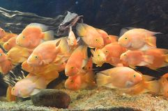 Discuss Fish. Is swimming in aquarium Royalty Free Stock Photography