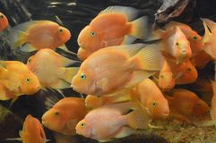 Discuss Fish. Is swimming in aquarium Royalty Free Stock Photo