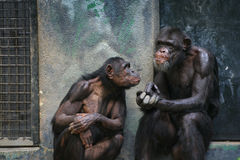 Discussion. Two chimpanzees talking to each other Royalty Free Stock Photography