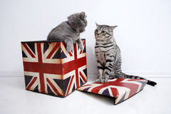 Discussion de chats des Anglais Shorthair Images libres de droits