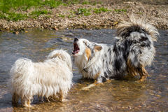 Discussion among dogs Stock Photos
