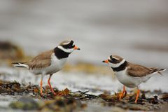 Discussion pair of Ringed plovers royalty free stock image
