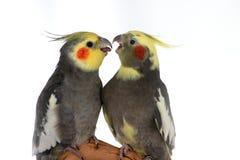 Discussione dei Cockatiels Immagini Stock