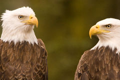 Discussão da águia calva Fotografia de Stock Royalty Free