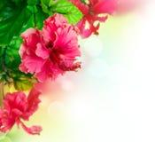 Diseño de la frontera de la flor del hibisco Fotografía de archivo