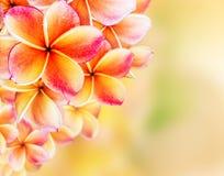 Diseño de la frontera de las flores del Plumeria Imagen de archivo libre de regalías