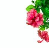 Diseño de la frontera del hibisco Fotografía de archivo libre de regalías