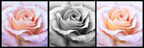 Diseño de tres rosas Imagenes de archivo