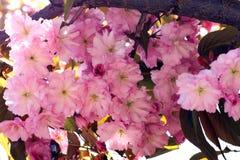 Diseño del arte de Sakura Flowers Background Flor de Sakura de la primavera Imágenes de archivo libres de regalías