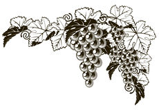 Diseño del estilo del vintage de las uvas Imagenes de archivo