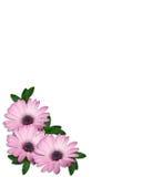 Diseño púrpura de la esquina de las flores de la margarita Fotografía de archivo