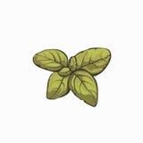 Diseño retro de los leafes de la albahaca Foto de archivo libre de regalías