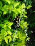 Diseños de la araña Foto de archivo