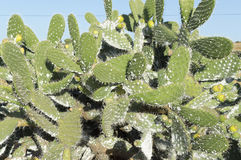 Disease affecting prickly pears Stock Photos
