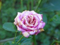 Disease caused by wet conditions. Problems with roses. Botrytis blight fungal rose disease. Disease caused by wet conditions. Problems with roses stock images
