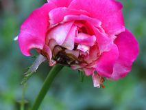 Disease caused by wet conditions. Problems with roses. Botrytis blight fungal rose disease. Disease caused by wet conditions. Problems with roses stock image