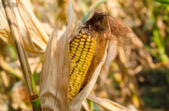 Disease corn cob Royalty Free Stock Photo